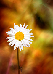 A delightful daisy vision from along the road on a nature walk