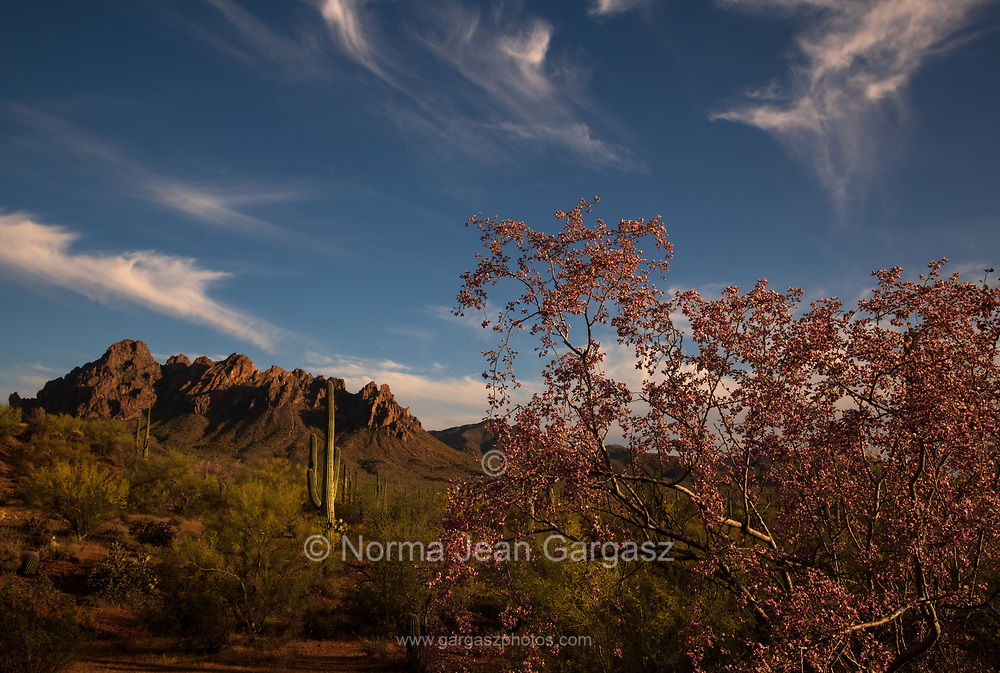 Ironwood trees, (right), along with palo verde trees and saguaro cactus, bloom in May in Ironwood Forest National Monument, Sonoran Desert, Arizona, USA.