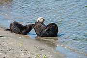 California sea otters or southern sea otters, Enhydra lutris nereis ( threatened species ), sniff each other after coming ashore to bask on the beach at Elkhorn Slough, Moss Landing, California, United States ( Eastern Pacific ); this is the only location where Pacific sea otters are known to come ashore regularly