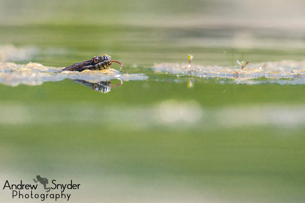 A northern watersnake (Nerodia sipedon) senses its surroundings with its tongue - Upperco, Maryland