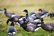 Brent geese, Branta (bernicla) bernicla, in the saltmarshes in Holkham, North Norfolk, UK