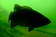 Smallmouth Bass Silhouette<br /> <br /> Engbretson Underwater Photography