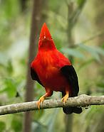 Andean Cock of the Rock, Rupicola peruvianus