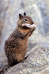 California Ground Squirrel With Paper