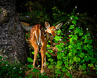 Shy very young Fawn. Image taken with a Fuji X-T2 camera and 100-400 mm OIS lens (ISO 200, 211 mm, f/6.4, 1/90 sec)
