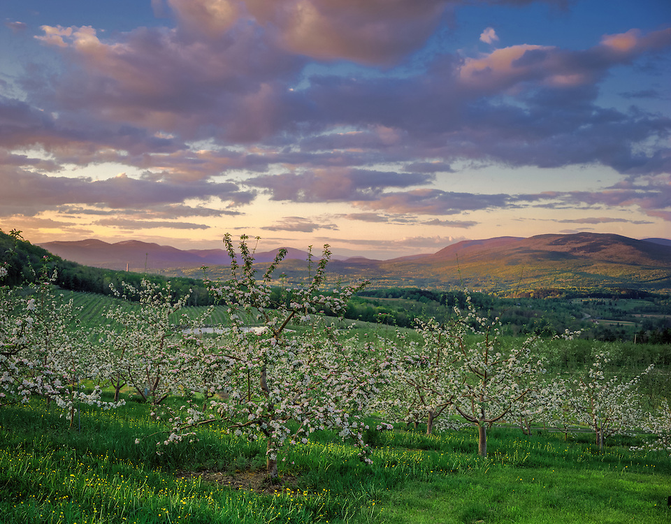 Apple orchard in bloom & view Mt Anthony, Southern Vermont Orchards, Bennington, VT