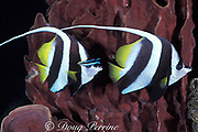 longfin bannerfish or black pennant <br /> coralfish, Heniochus acuminatus, <br /> being cleaned by cleaner wrasse,<br /> Sipadan Island, Borneo, Malaysia<br /> ( Celebes Sea )
