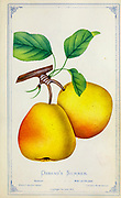 Osband's Summer pear Variety from Dewey's Pocket Series ' The nurseryman's pocket specimen book : colored from nature : fruits, flowers, ornamental trees, shrubs, roses, &c by Dewey, D. M. (Dellon Marcus), 1819-1889, publisher; Mason, S.F Published in Rochester, NY by D.M. Dewey in 1872