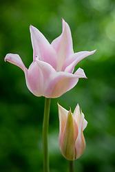Tulip 'Ballade Silver'