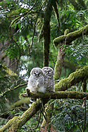 A pair of sleepy Barred Owl (Strix varia) fledglings perched together on a branch. Photographed at Campbell Valley Park in Langley, British Columbia, Canada.