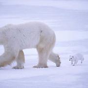 Polar Bear, (Ursus maritimus) Rabid Arctic Fox attacking bear. Near Churchill, Manitoba. Canada.