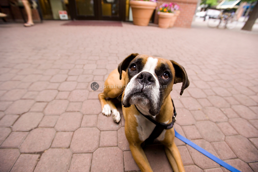 A boxer dog looks hopefully into the air in downtown Bend, Oregon.