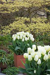 Tulipa 'Purissima' in square terracotta pots in front of Cornus controversa 'Variegata' at Glebe Cottage