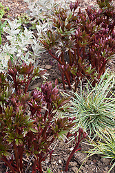 The emerging foliage of Paeonia 'Coral Charm' with Brachyglottis Walberton's Silver Dormouse syn. 'Walbrach' and Carex oshimensis Everest syn. 'Fiwhite'