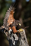 Harris Hawk lands on a perch at the Center for Birds of Prey November 15, 2015 in Awendaw, SC.