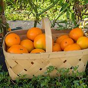 Heirloom tomatoes, just picked.