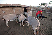 Noolkisaruni Tarakuai helps a calf reunite with its mother before the morning milking in a Maasai village comopund near Narok, Kenya. (From the book What I Eat: Around the World in 80 Diets.) MODEL RELEASED.