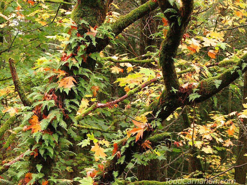 Licorice Fern growing on Bigleaf Maple in autumn