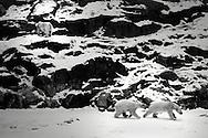 Schweden, SWE, Kolmarden, 2000: Eine Gruppe von Eisbaeren (Ursus maritimus) in huegeliger Landschaft, zwei spazieren im Schnee, einer klettert auf dem Felsen, Kolmardens Djurpark. | Sweden, SWE, Kolmarden, 2000: Polar bear, Ursus maritimus, group in rocky landscape, two walking on snowfield, another one climbing the rock, Kolmardens Djurpark. |