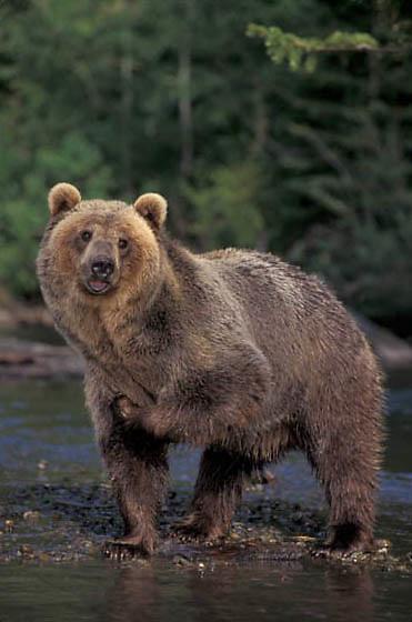 Grizzly Bear, (Ursus horribilis) Montana. Grizzly bear in stream.  Captive Animal.