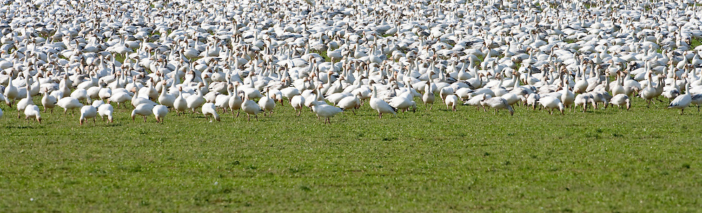 Snow Geese (Chen caerulescens) flock rests in a tight crowd to parotect them  from predators at Fox Island, Skagit River Delta, Washington state, USA panorama