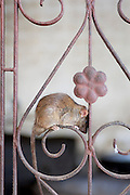 A rat on a gate in The Karni Mata temple. The rats are worshipped as holy creatures. Deshnoke, Rajasthan, India