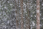 Heavy snow falls, partially obscuring the view of Douglas fir (Pseudotsuga menziesii) trees in a forested area of Snohomish County, Washington.
