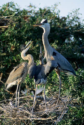 Great Blue Heron (Ardea herodias) adult feeding fledglings in a nest at a rookery.