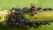 Close-up of Black bean aphids or Blackfly (Aphis fabae) with Black garden ants (Lasius niger) massed on a plant stem in a Norfolk garden in summer