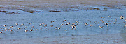 Wading birds in flight over estuary in County Wexford, Southern Ireland