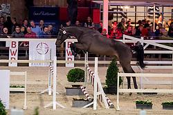 101, Quirambole van de Helle<br /> BWP Hengstenkeuring -  Lier 2020<br /> © Hippo Foto - Dirk Caremans<br />  17/01/2020