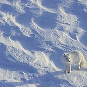 Arctic Fox on Hudson Bay. Canada