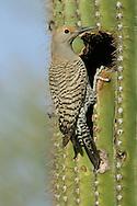 Gilded Flicker - Colaptes chrysoides - female