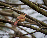 Northern Cardinal. Image taken with a Nikon D300 camera and 80-400 mm VR lens (ISO 220, 400 mm, f/5.6, 1/250 sec).