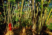 Nepali woman stands beside giant bamboo . eastern Nepal