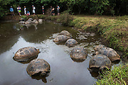 Tourists With Galapagos Giant Tortoises (Geochelone nigrita)<br /> El Chato Ranch<br /> Highlands<br /> Santa Cruz Island <br /> Galapagos<br /> Ecuador,  South America