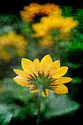 Folley Beach,Charleston South Carolina, yellow Spring flowers