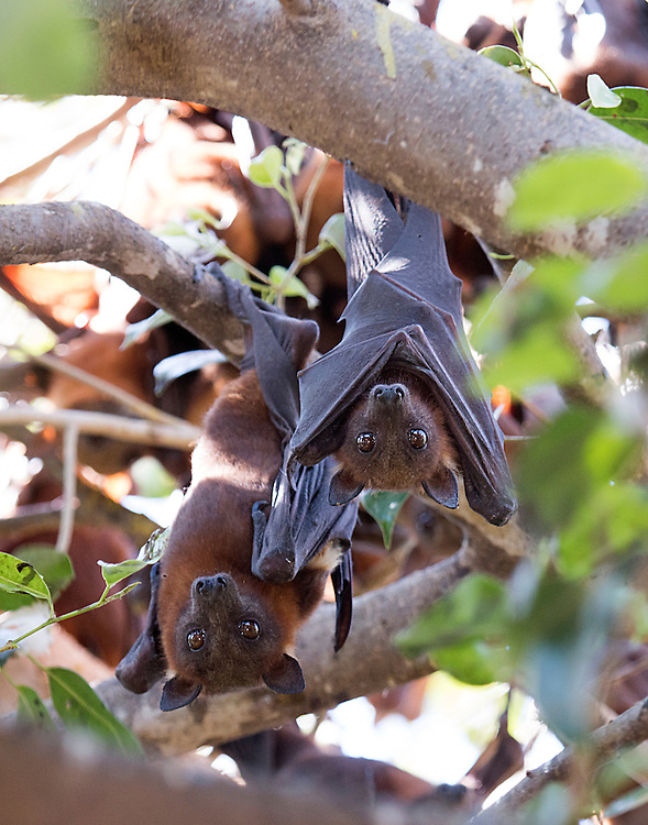 Two flying foxes in the roost, Kakadu National Park, Northern Territory, Australia.