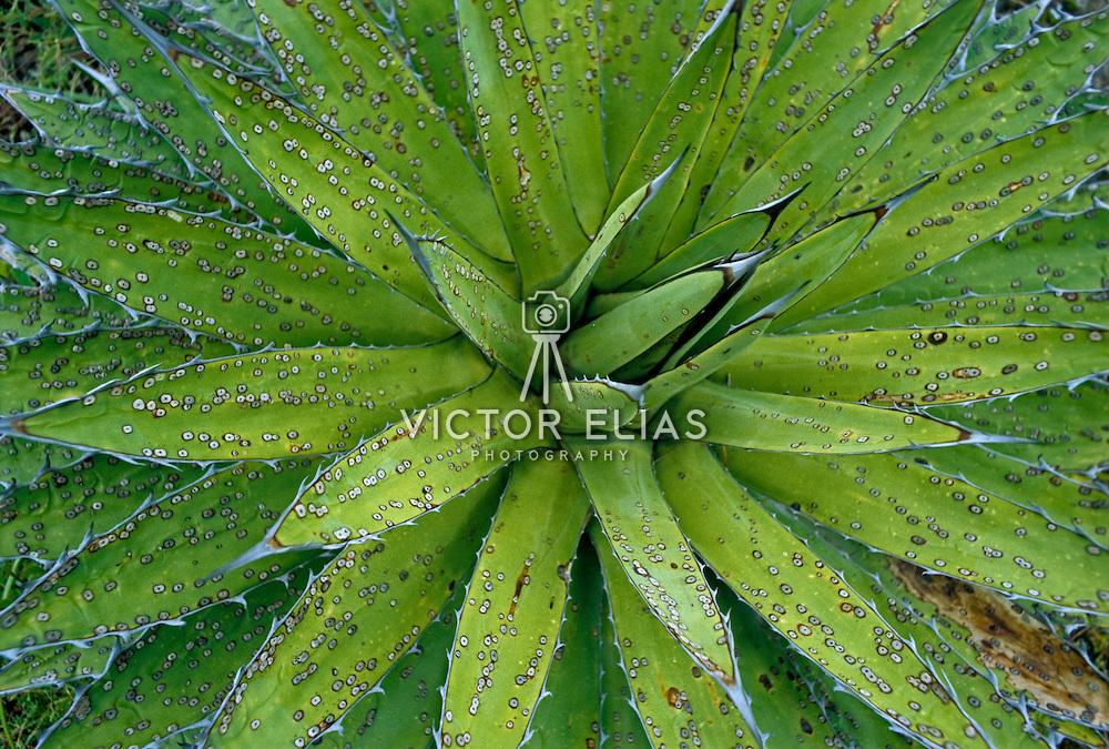 Cactus close up. Mexico.