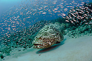 Goliath Grouper (Epinephelus itajara) surrounded by baitfish in Palm Beach; FL. Endangered; the Goliath is one of the largest bony fishes in coral reefs in the Western Atlantic and Eastern Pacific.