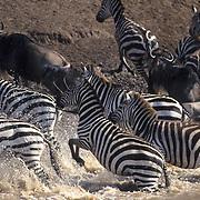 Burchell's Zebra, (Equus burchelli)Herd running out of Masai River. Masai Mara Game Reserve. Kenya. Africa.