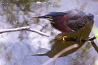 The beautiful and multi-hued green heron in the Florida Everglades National Park.