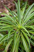 Opelu, Limahuli Garden and Preserve; Haena; Kauai; Hawaii;