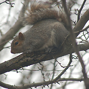 A squirrel looking for another snack in the tree outside my window.  Hillsborough, NJ