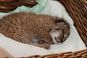 Iberian Lynx (Lynx pardinus) Cub, Felina. She is being hand raised.<br /> El Acebuche Breeding Center, Matalascañas, Huelva. SPAIN<br /> RANGE: Iberian Penninsula of Spain & Portugal.<br /> CITES 1, CRITICAL - DANGER OF EXTINCTION<br /> Fewer than 200 animals in the wild. There is a reduced genetic variability due to their small population. They have suffered due to hunting, habitat loss, road accidents, reduced food supply due to desease in rabbits (Myxomatosis & RHD) - their base food supply. Deseases such as feline leukaemia<br /> A medium sized cat weighing 12-15kgs, Body length 90cm, Shoulder height 45-50cm. They have a mottled fur pattern, (3 varieties of fur pattern found between the different populations and distinguishing them geographically)  short tail, ear tufts and are bearded. They are territorial cats although female cubs have been found to share their mother's territory. Mating occurs in Dec/Jan and cubs born around April. They live up to 13 years.<br /> <br /> Mission: Iberian Lynx, May 2009<br /> © Pete Oxford / Wild Wonders of Europe<br /> Zaldumbide #506 y Toledo<br /> La Floresta, Quito. ECUADOR<br /> South America<br /> Tel: 593-2-2226958<br /> e-mail: pete@peteoxford.com<br /> www.peteoxford.com