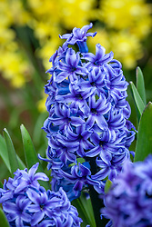 Hyacinthus 'Blue Jacket' in front of Narcissus 'Hawera'