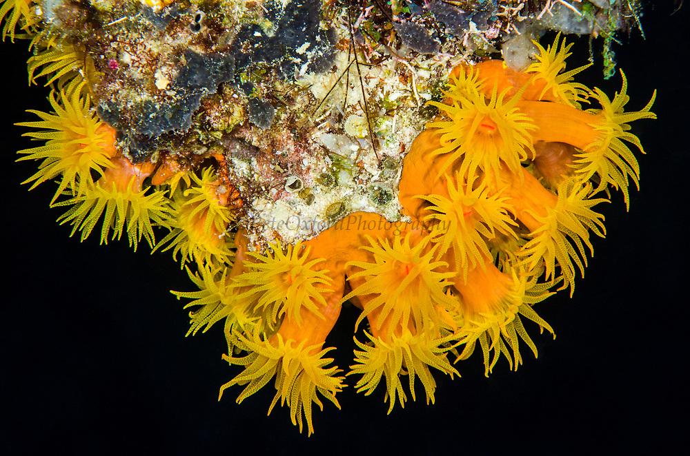 Orange Cup Coral (Tubastrea)<br /> Raja Ampat<br /> West Papua<br /> Indonesia