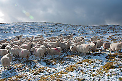 © Licensed to London News Pictures. 13/02/2014. Mynydd Epynt Uplands, Powys, wales, UK. Sheep think that the photographer is the farmer bring food and gather around him. Temperatures dropped below zero and a light dusting of snow fell last night on high land in Mid Wales and in The Brecon Beacons National Park. Hailstorms replaced snowfalls this morning. Photo credit : Graham M. Lawrence/LNP