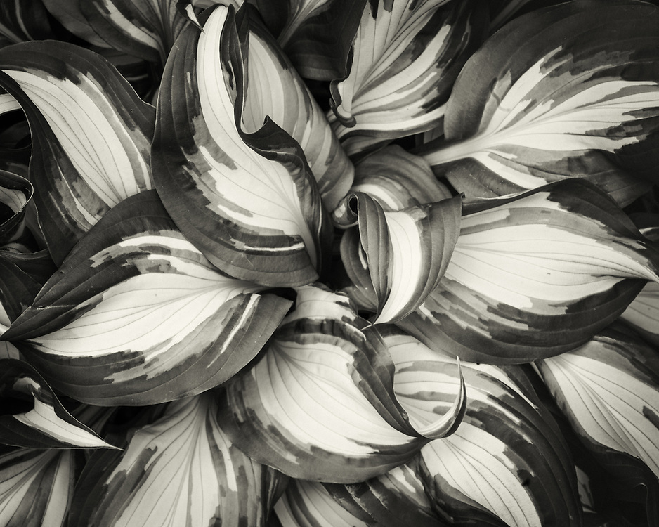 Hosta, from our yard
