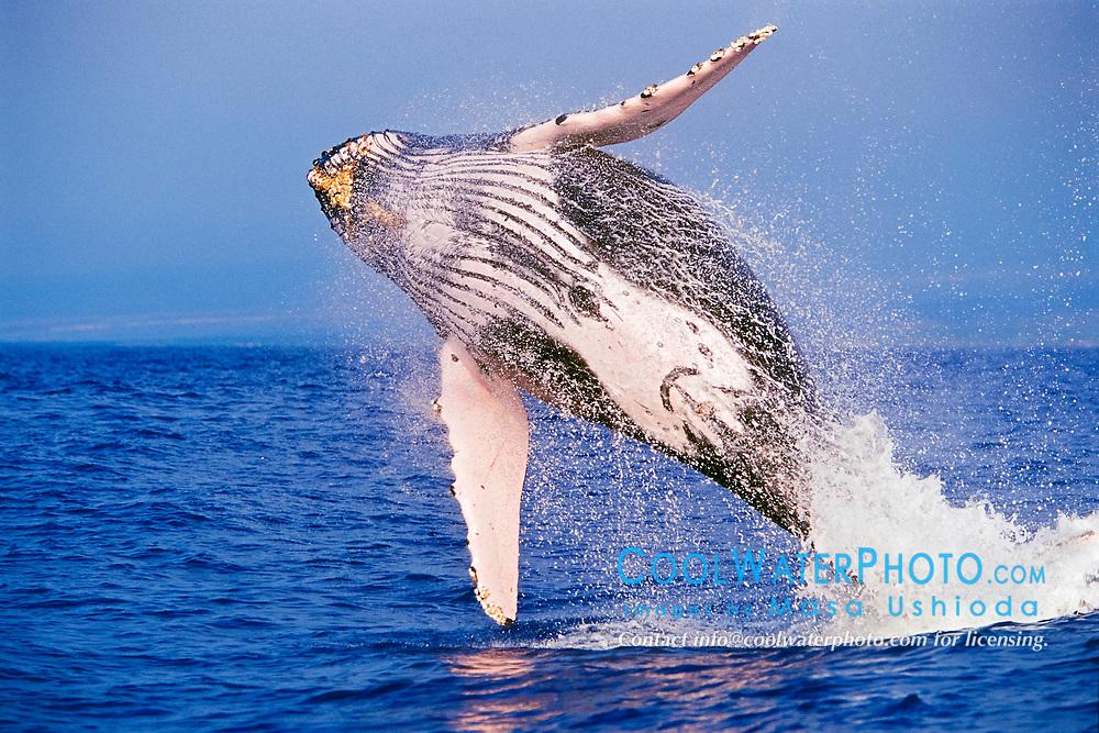 humpback whale, Megaptera novaeangliae, breaching, Hawaii, USA, Pacific Ocean